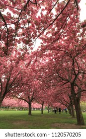 Cherry blossom garden in Brooklyn