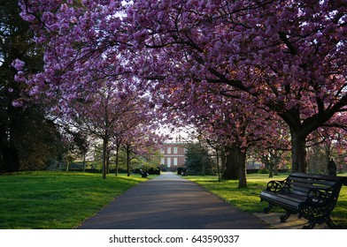 Cherry Blossom in Greenwich park, London, England.