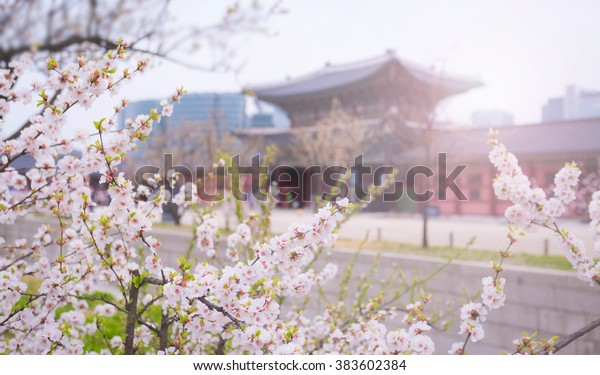 cherry blossom at gyeongbokgung palace in Spring, South Korea.