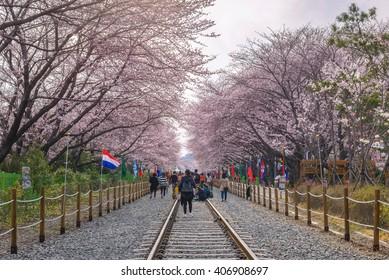 Cherry blossom at Gyeonghwa Station, Jinhae sakura festival, Jinhae, South Korea