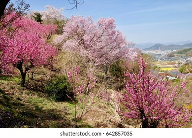 cherry blossom in Hanamiyama