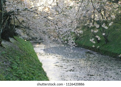 The cherry blossom at Hirosaki Castle, located in northeastern Japan.