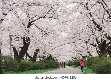 Cherry blossom in Japan.