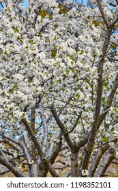 Cherry blossom in Jerte Valley, Caceres. Spring in Spain. Seasonal