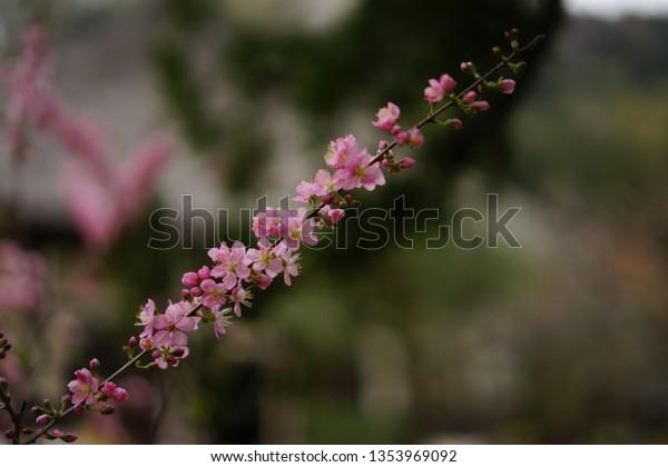 https://image.shutterstock.com/image-photo/cherry-blossom-kamakura-600w-1353969092.jpg