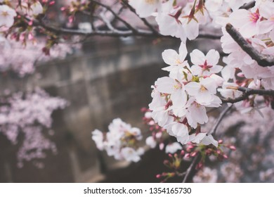 Cherry blossom, or known as sakura blooming during spring at Japan.