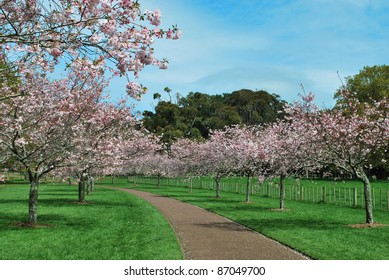 Cherry blossom lined pathway