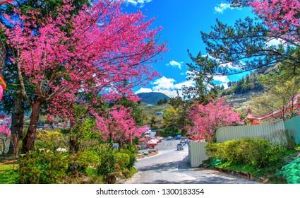 Cherry Blossom in Lishan Scenic Area, Taichung, Taiwan