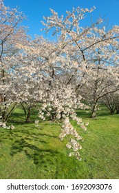 Cherry blossom in a meadow in Berlin, Germany