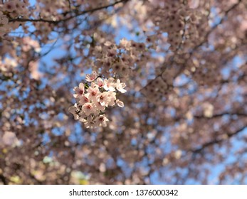 cherry blossom in the morning
