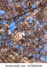 cherry blossom in the morning (vertical)