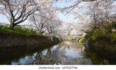 Cherry blossom near the river