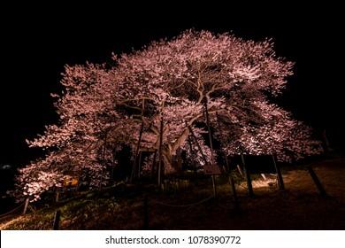 Cherry Blossom at Night