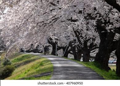Cherry blossom in Ogawara, Miyagi, Japan; sakura