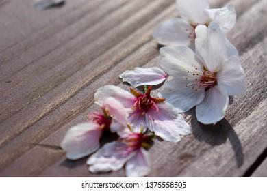 cherry blossom on the floor