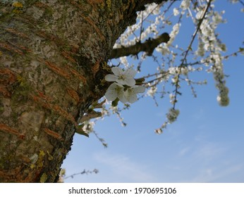 cherry blossom on the tree - Shutterstock ID 1970695106
