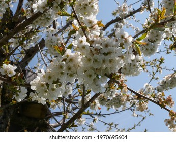 cherry blossom on the tree - Shutterstock ID 1970695604