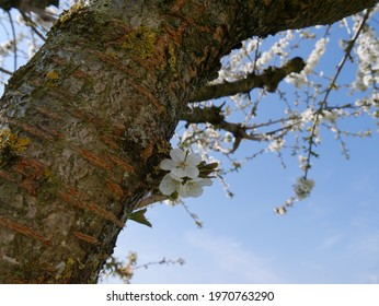 cherry blossom on the tree - Shutterstock ID 1970763290