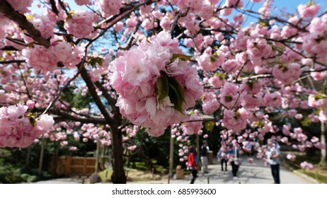 A cherry blossom (or commonly known in Japan as sakura) is the flower of any of several trees of genus Prunus, particularly the Japanese cherry