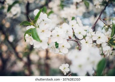 Cherry blossom over blue sky, spring season