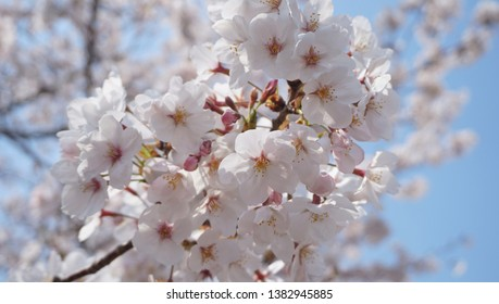 Cherry blossom at the park