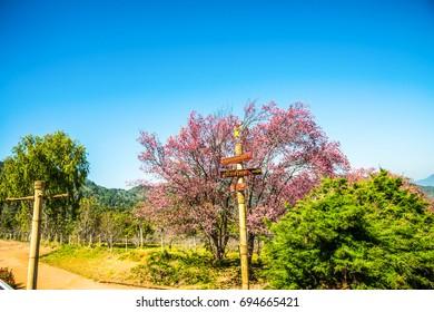 Cherry blossom park at Chiangmai province, Thailand.