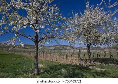Cherry Blossom Path in Burgenland