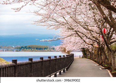 Cherry Blossom Path at Kawaguchiko Lake during Hanami festival, Japan