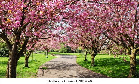 Cherry Blossom Path through a Beautiful Landscape Garden