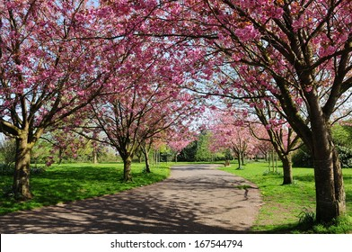 Cherry Blossom Pathway through a Beautiful Garden in Spring