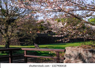 Cherry blossom and pigeon in front of Kumamoto castle in Kumamoto, Japan