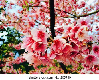 Cherry blossom Pink Flower in Thailand on the late winter