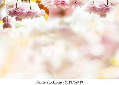 The Cherry blossom, pink flowers in blooming with nice background
