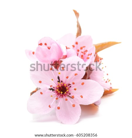 Cherry blossom pink sakura flower isolated stock photo edit now cherry blossom pink sakura flower isolated in white background mightylinksfo