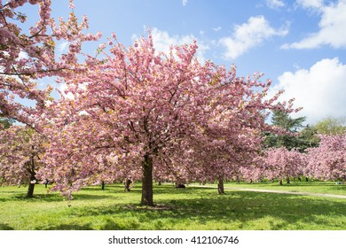 Cherry blossom (Prunus, Lithocerasus) in the park of Sceaux, Paris, France