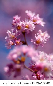 Cherry blossom (Prunus sp.) with soft, soap bubble bokeh.