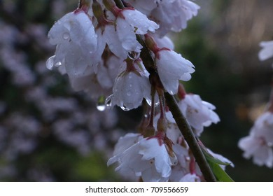 cherry blossom with rain drop