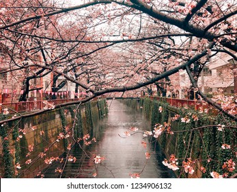 Cherry blossom of rainy day