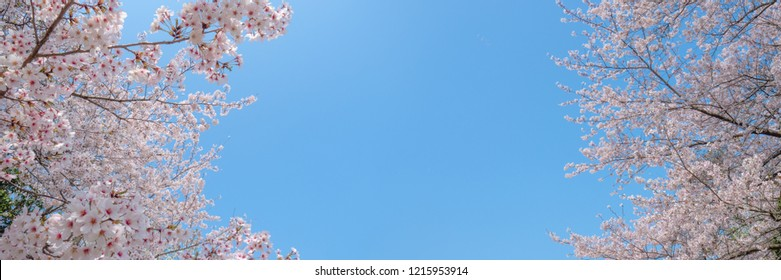 Cherry blossom. Sakura.