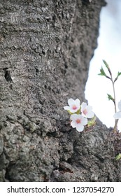 Cherry blossom, Sakura