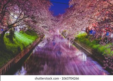 Cherry Blossom (Sakura) along Gojo river, Iwakura City, Aichi Prefecture, Japan