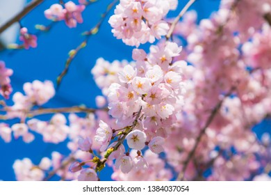Cherry blossom (Sakura) around philosopher's walk  in spring, kyoto, Japan