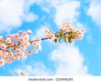 Cherry blossom (sakura) blooming in spring season of Japan against blue sky at Okayama castle park