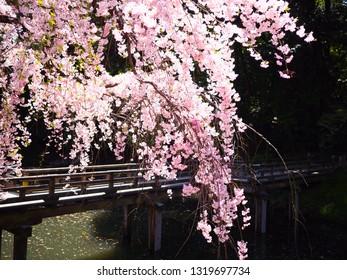 Cherry blossom (sakura) blooming in spring season at Korakuen park, Okayama city, Japan