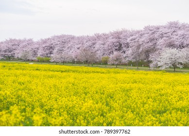 Cherry Blossom Sakura and Canola flower at Gongendo Park, Saitama, Japan