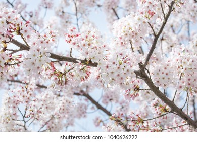 Cherry Blossom or Sakura flower on nature background