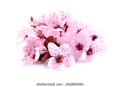 Cherry blossom, sakura flowers isolated on white background. Pink bloosoms.