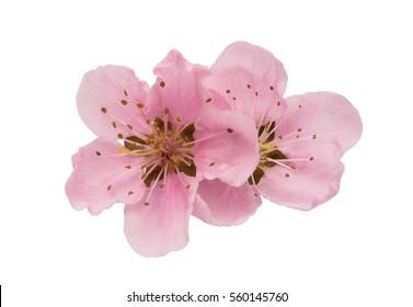 Cherry blossom, sakura flowers isolated on white background