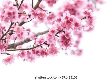Цветение вишни, цветы сакуры изолированы на белом фоне Цветение вишни, цветы сакуры изолированы на белом фоне Цветение вишни, розовые цветы в цветущих изолированных на белом фоне