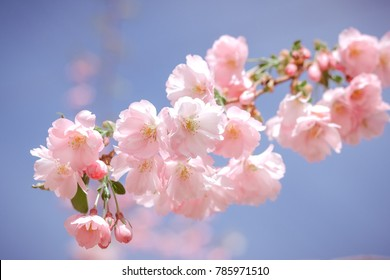 Cherry blossom, sakura flowers isolated on blue background.pink flowers on sky background in spring season. vintage color tone.Toned Image.flower background